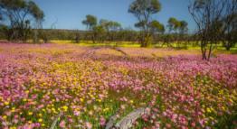 Coalseam Conservation Park-Wildflower trails in WA-min